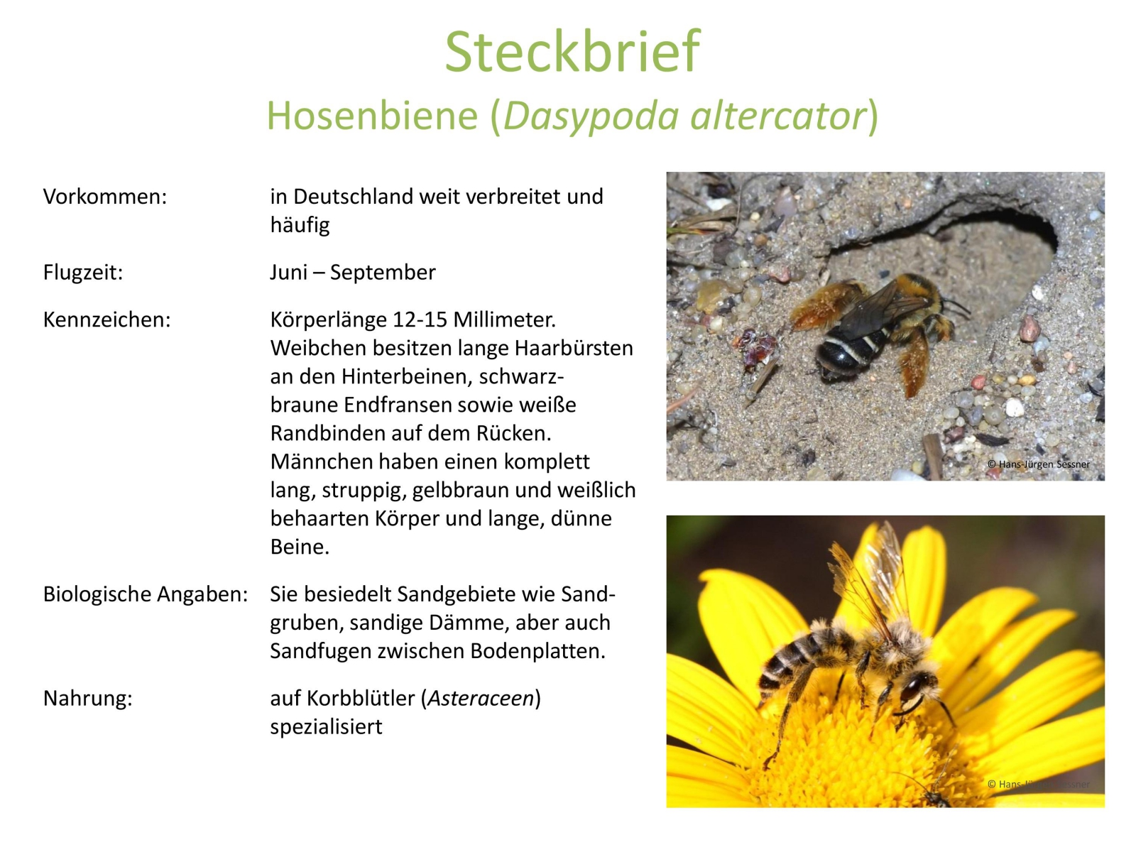 wildbienen_steckbrief_4.jpg